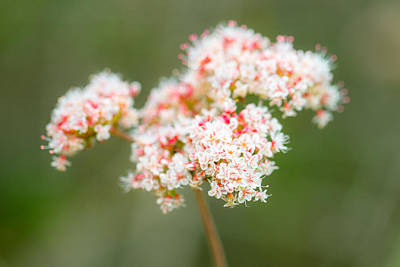 Photograph - California Buckwheat by Alexander Kunz