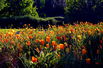 Photograph - California Poppies by Michele Avanti