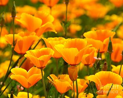 California Poppies Art Print by Patrick Witz