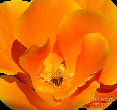 Photograph - California Poppy by Donna Sizemore