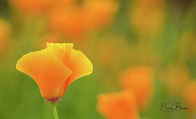 Photograph - California Poppy Macro by Nick Boren