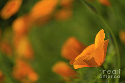 Abstract Flowers Royalty-Free and Rights-Managed Images - California poppy by Veikko Suikkanen