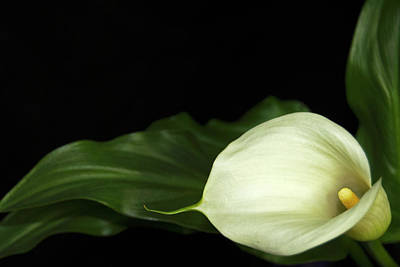 Photograph - Calla Lily by Elsa Marie Santoro