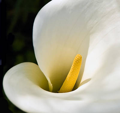 Photograph - Calla Lily by Mick Burkey