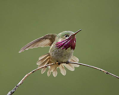 Photograph - Calliope Hummingbird by Doug Herr