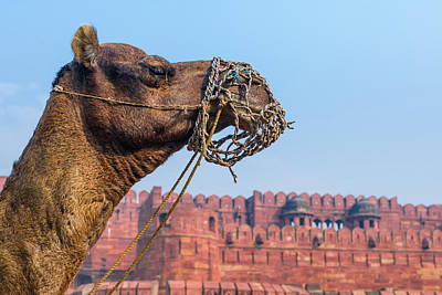 Photograph - Camel In Front Of The Agra Fort by Nila Newsom