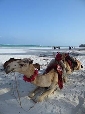 Camel On Beach Kenya Wedding Art Print
