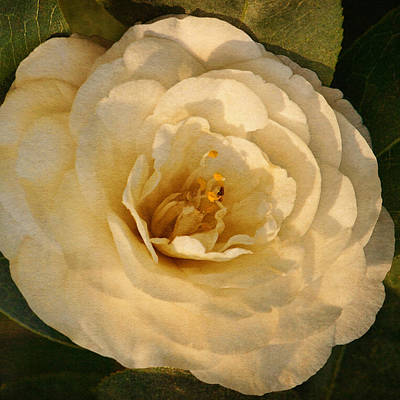 Photograph - Camellia Of White Text by Theo O'Connor