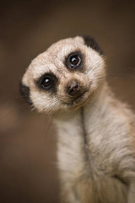 Meerkat Wall Art - Photograph - Can I Help You by Ryan Heffron