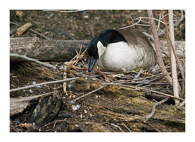 Photograph - Canada Goose Nesting by Edward Peterson