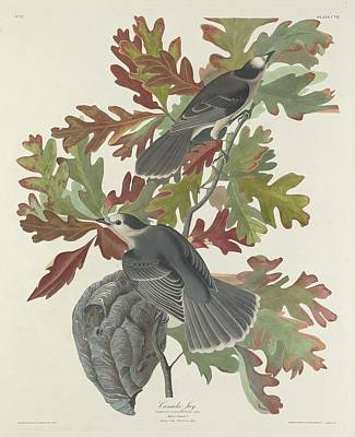 Wings Drawing - Canada Jay by Dreyer Wildlife Print Collections