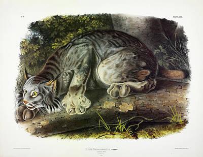 Lynx Wall Art - Painting - Canada Lynx by John James Audubon