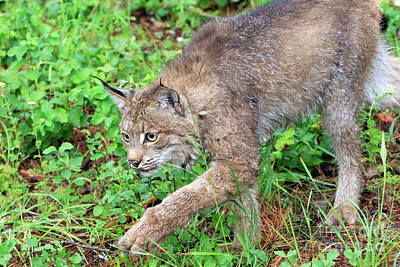 Canada Lynx Lynx Canadensis Art Print by Louise Heusinkveld
