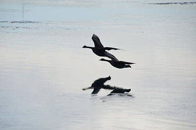 Photograph - Canadian Geese by Randy J Heath