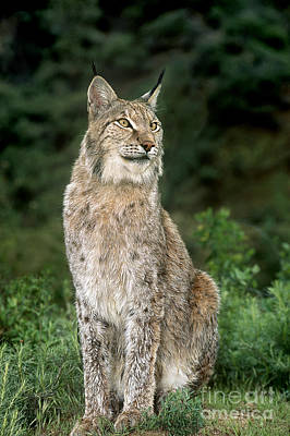 Photograph - Canadian Lynx Felis Lynx Wildlife Rescue by Dave Welling