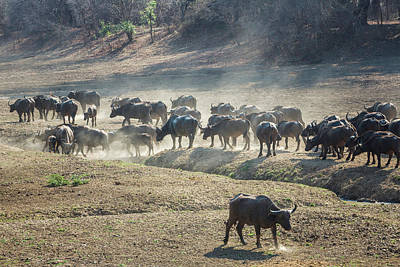 Photograph - Cape Buffalo Herd by Fran Gallogly