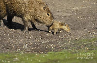 Caring Mother Photograph - Capybara Hydrochoerus Hydrochaeris by Gerard Lacz