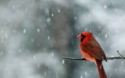 Finch Digital Art - Cardinal by Alice Kent