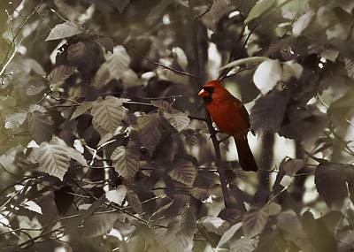 Very Red Cardinal Art Print by JAMART Photography