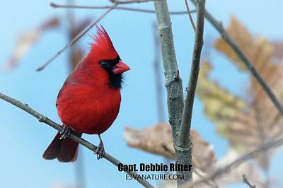 Photograph - Cardinal Male 9583 by Captain Debbie Ritter