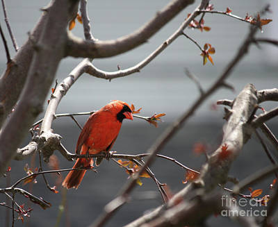 Photograph - Cardinal by Mary-Lee Sanders