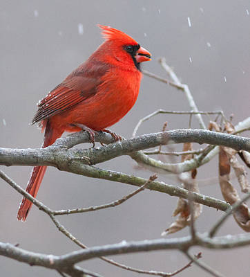 Photograph - Cardinal by Melinda Fawver