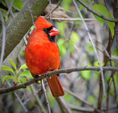 Photograph - Cardinal Perched by Brian Wallace