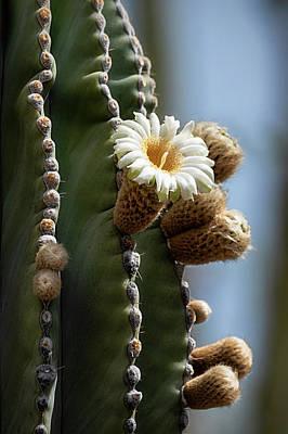Photograph - Cardon Cactus Flower  by Saija Lehtonen