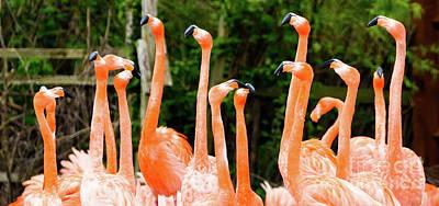 Photograph - Caribbean Flamingo by Colin Rayner