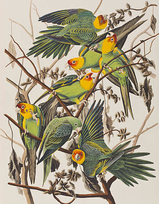 Parakeet Painting - Carolina Parrot by John James Audubon