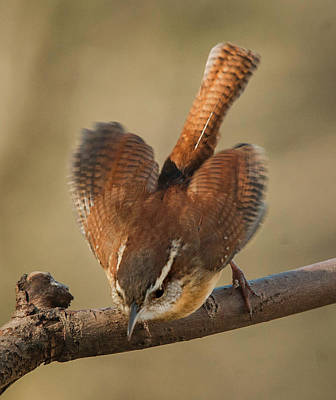 Photograph - Carolina Wren by Jim Moore