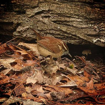 Photograph - Carolina Wren  by Joe Duket