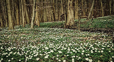 Photograph - Carpet Of Anemones by Peter Wanzek