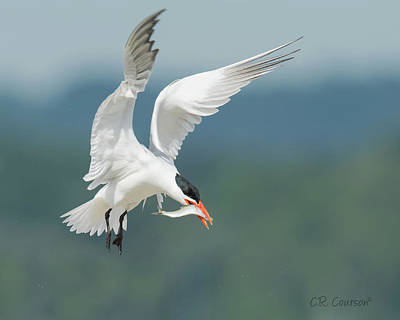 Photograph - Caspian Tern With Fish by CR Courson