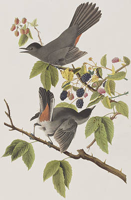 Raspberry Drawing - Cat Bird by John James Audubon