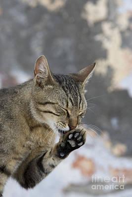 Cat Grooming In Greece Art Print