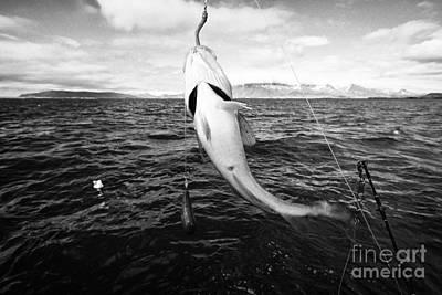 Icelandic Fish Photograph - catching cod seafishing on a charter boat Reykjavik iceland by Joe Fox
