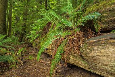 Photograph - Cathedral Grove by Jacqui Boonstra