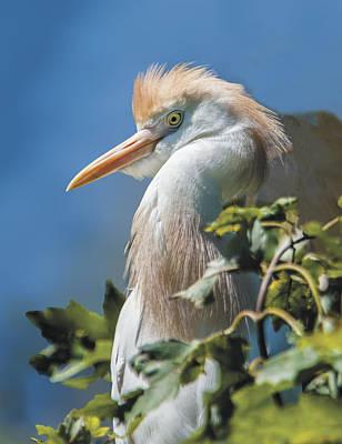 Photograph - Cattle Egret Profile by William Bitman
