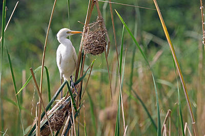 Photograph - Cattle Egret by Tony Murtagh