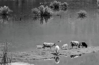 Photograph - Cattle Grazing After A Flood by Brigitte Werner