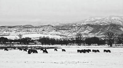 Photograph - Cattle Grazing In Winter by Loc
