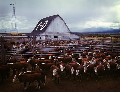 Photograph - Cattle In Corrals On Ranch by Artistic Panda
