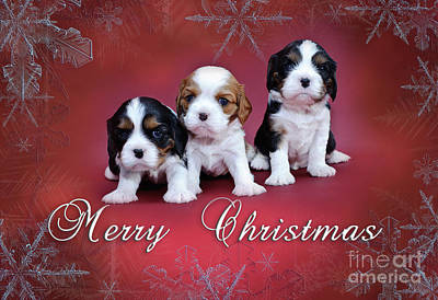 Photograph - Cavalier King Charles Spaniel Christmas Card by Waldek Dabrowski