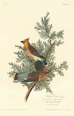 Audubon Drawing - Cedar Bird by Dreyer Wildlife Print Collections