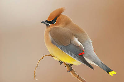 Cedar Waxing Photograph - Cedar Wax Wing by Carl Shaw