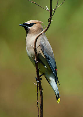 Digital Art - Cedar Waxwing by Chris LeBoutillier