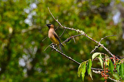 Photograph - Cedar Waxwing by Dan Hefle