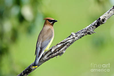 Photograph - Cedar Waxwing by Dee Cresswell