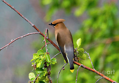 Photograph - Cedar Waxwing by Mike Dawson